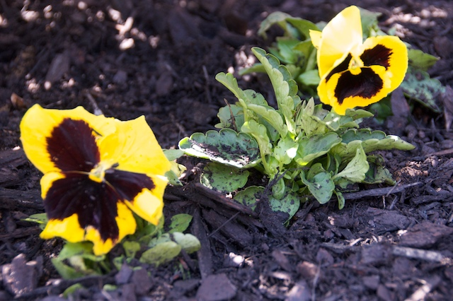 Pansies_march
