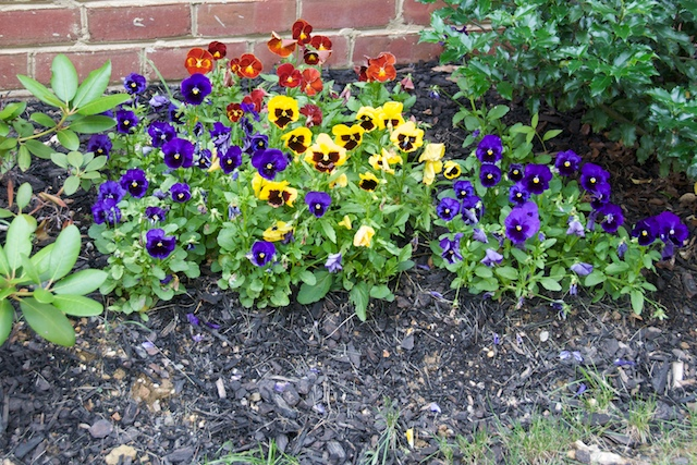 Pansies_june